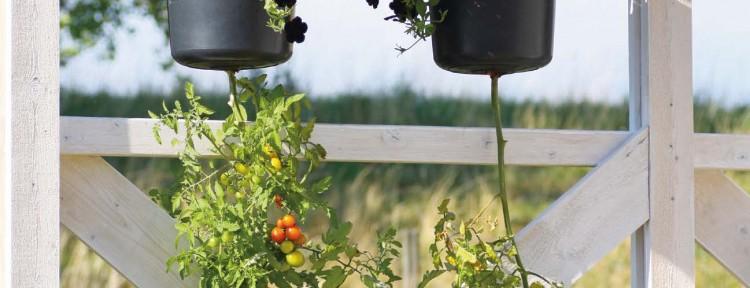 Dekorativt och matnyttigt med petunior och upp-och-ed-odlade tomater