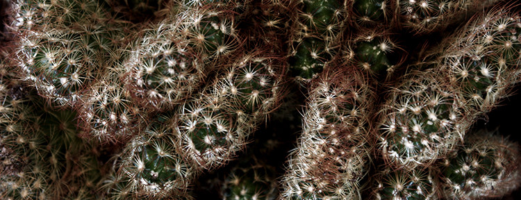 kaktus 750x288
