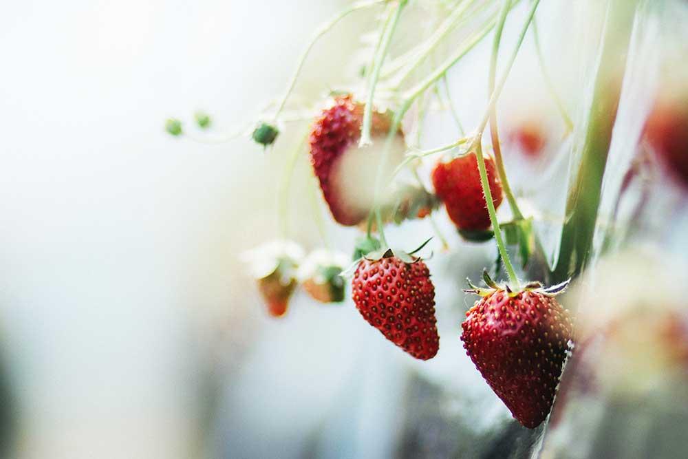 Odla jordgubbar på balkongen
