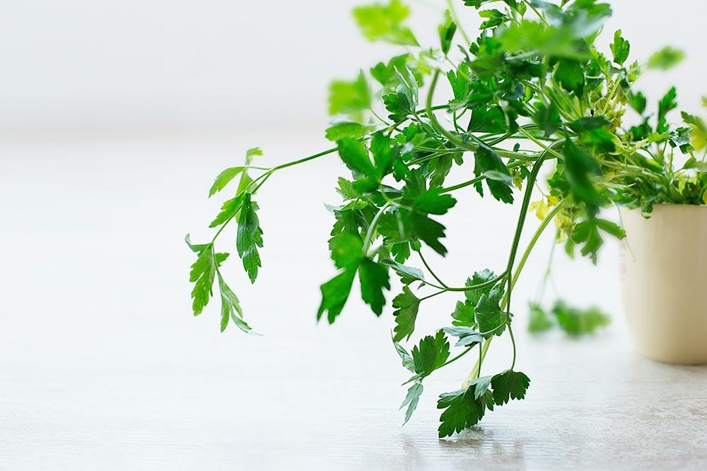 Du kan odla spenat, tomater och chili hydroponiskt
